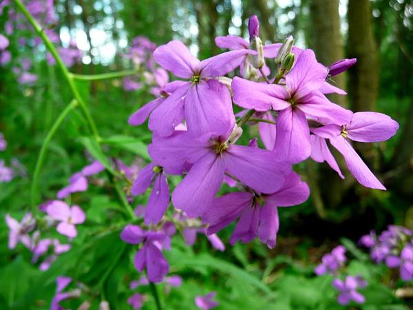 Dames Rocket (Hesperis Matronalis) https://www.sagebud.com/dames-rocket-hesperis-matronalis