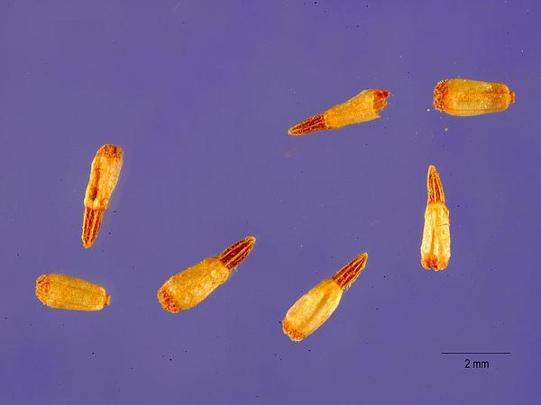 Smallhead Sneezeweed (Helenium Microcephalum) https://www.sagebud.com/smallhead-sneezeweed-helenium-microcephalum