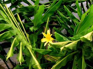 Small Daylily