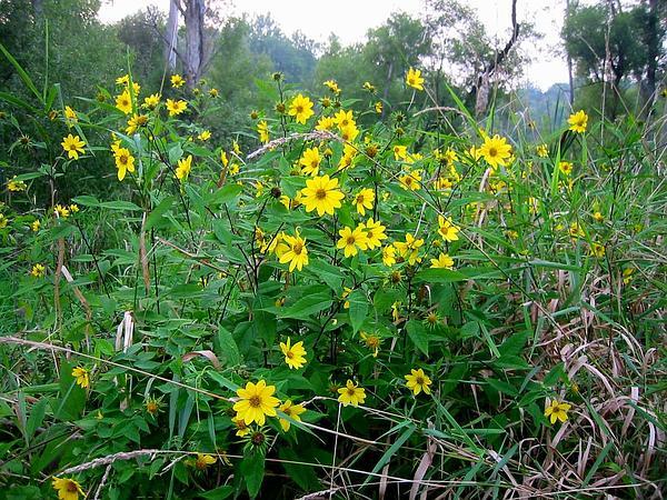 Small Woodland Sunflower (Helianthus Microcephalus) https://www.sagebud.com/small-woodland-sunflower-helianthus-microcephalus
