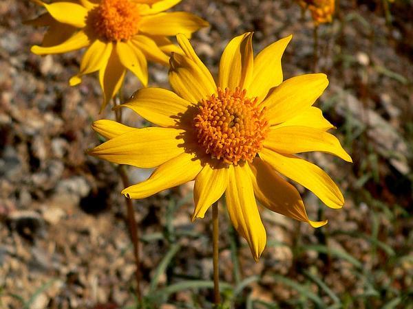Showy Goldeneye (Heliomeris Multiflora) https://www.sagebud.com/showy-goldeneye-heliomeris-multiflora