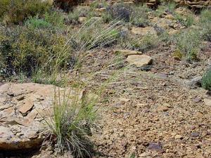 New Mexico Feathergrass