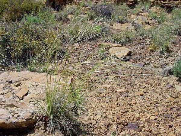 New Mexico Feathergrass (Hesperostipa Neomexicana) https://www.sagebud.com/new-mexico-feathergrass-hesperostipa-neomexicana
