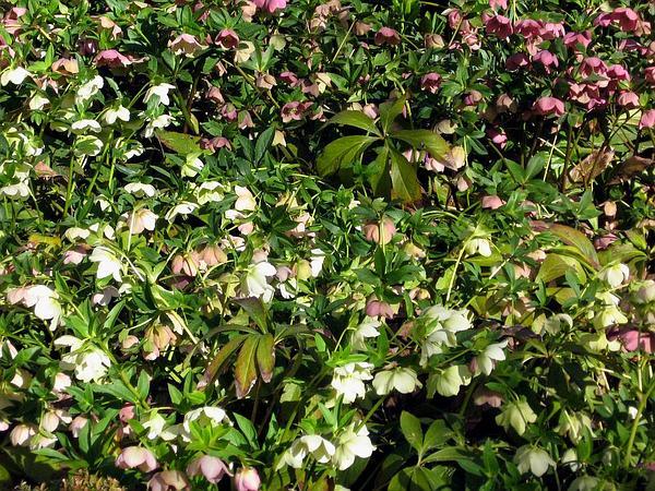 Lenten-Rose (Helleborus Orientalis) https://www.sagebud.com/lenten-rose-helleborus-orientalis