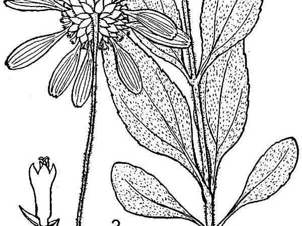 Stiff Sunflower (Helianthus Pauciflorus) https://www.sagebud.com/stiff-sunflower-helianthus-pauciflorus