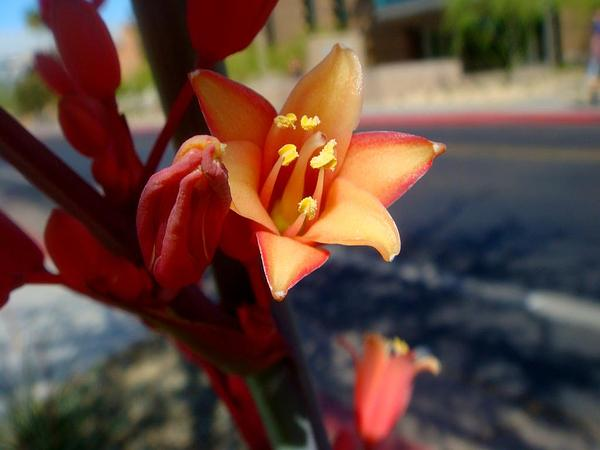 Redflower False Yucca (Hesperaloe Parviflora) https://www.sagebud.com/redflower-false-yucca-hesperaloe-parviflora