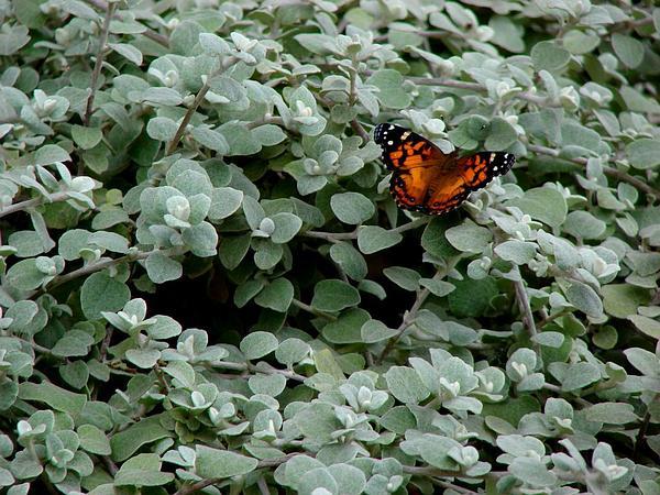 Licorice-Plant (Helichrysum Petiolare) https://www.sagebud.com/licorice-plant-helichrysum-petiolare
