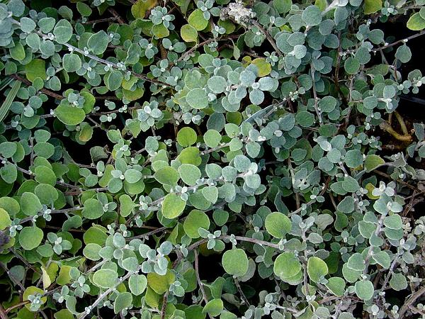 Licorice-Plant (Helichrysum Petiolare) https://www.sagebud.com/licorice-plant-helichrysum-petiolare/