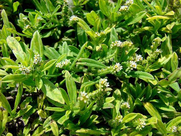 Fourspike Heliotrope (Heliotropium Procumbens) https://www.sagebud.com/fourspike-heliotrope-heliotropium-procumbens