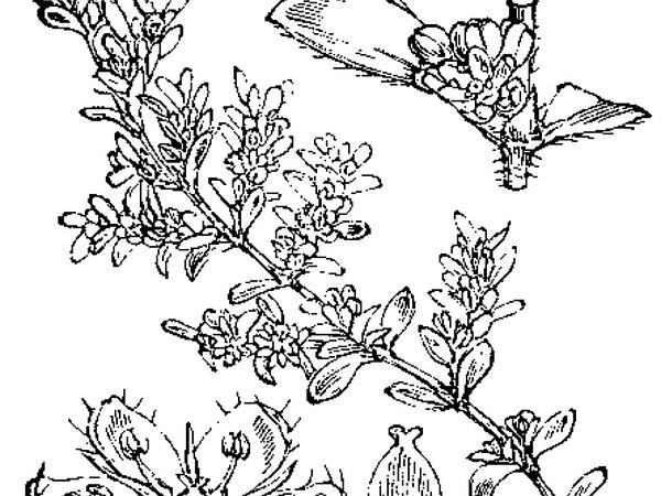 Rupturewort (Herniaria) https://www.sagebud.com/rupturewort-herniaria