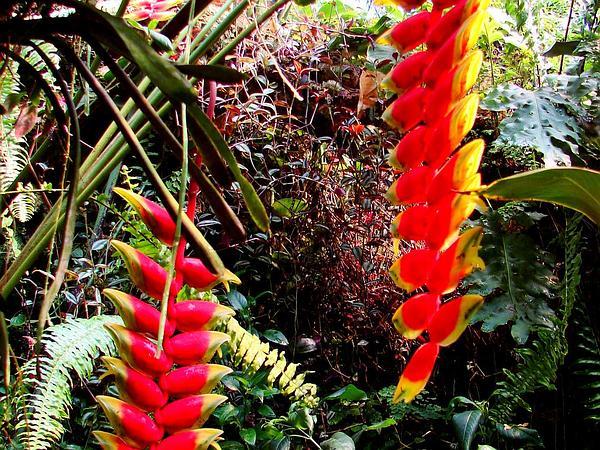 False Bird Of Paradise (Heliconia Rostrata) https://www.sagebud.com/false-bird-of-paradise-heliconia-rostrata/