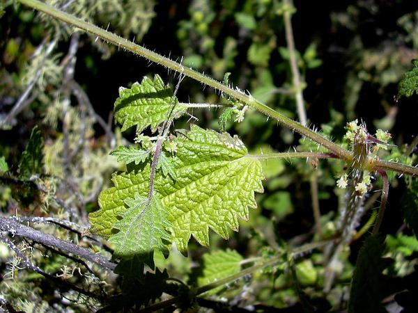 Hawai'I Stingingnettle (Hesperocnide Sandwicensis) https://www.sagebud.com/hawaii-stingingnettle-hesperocnide-sandwicensis