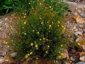 Bisbee Peak Rushrose