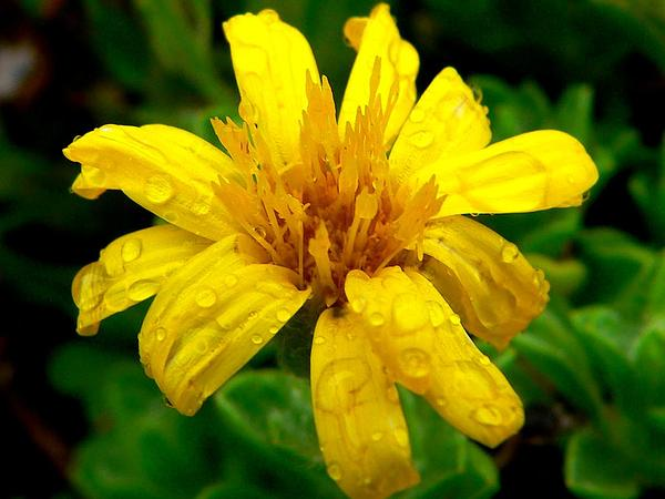 Sessileflower False Goldenaster (Heterotheca Sessiliflora) https://www.sagebud.com/sessileflower-false-goldenaster-heterotheca-sessiliflora/
