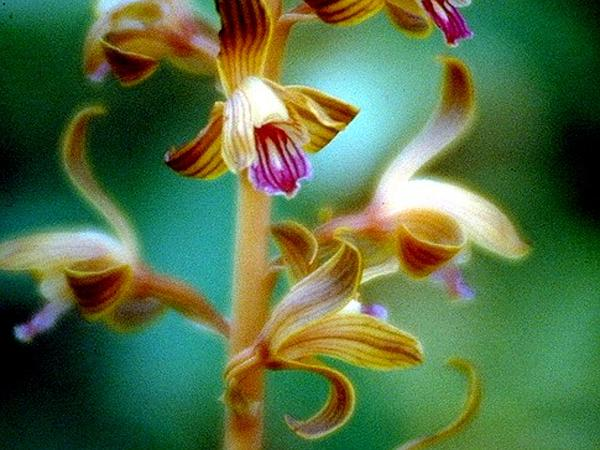 Spiked Crested Coralroot (Hexalectris Spicata) https://www.sagebud.com/spiked-crested-coralroot-hexalectris-spicata/