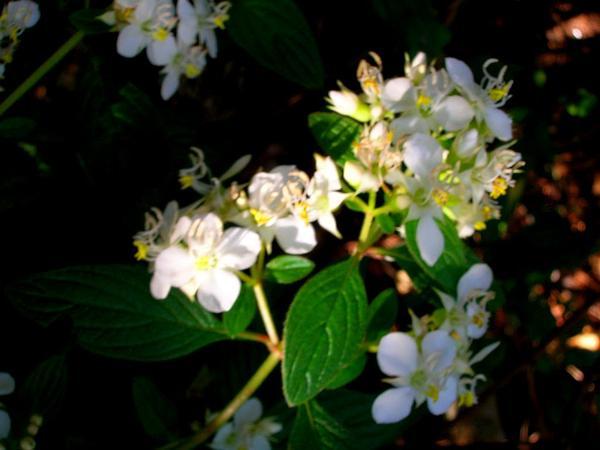 Pearlflower (Heterocentron Subtriplinervium) https://www.sagebud.com/pearlflower-heterocentron-subtriplinervium