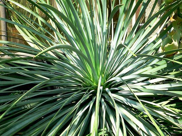 Chaparral Yucca (Hesperoyucca Whipplei) https://www.sagebud.com/chaparral-yucca-hesperoyucca-whipplei
