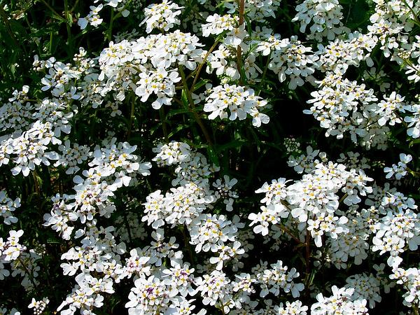 Annual Candytuft (Iberis Amara) https://www.sagebud.com/annual-candytuft-iberis-amara