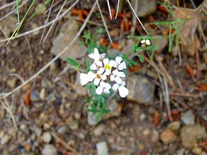 Pruit's Candytuft