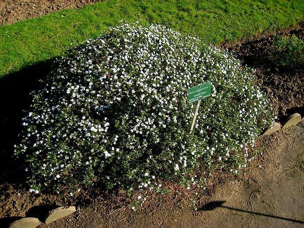 Evergreen Candytuft (Iberis Sempervirens) https://www.sagebud.com/evergreen-candytuft-iberis-sempervirens