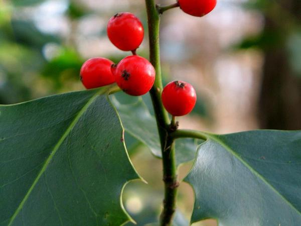 English Holly (Ilex Aquifolium) https://www.sagebud.com/english-holly-ilex-aquifolium