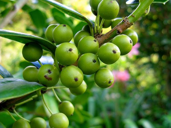 Chinese Holly (Ilex Cornuta) https://www.sagebud.com/chinese-holly-ilex-cornuta