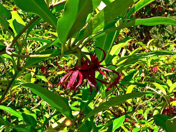 Florida Anisetree (Illicium Floridanum) https://www.sagebud.com/florida-anisetree-illicium-floridanum