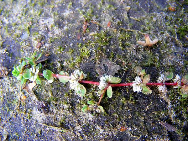 Coral Necklace (Illecebrum) https://www.sagebud.com/coral-necklace-illecebrum