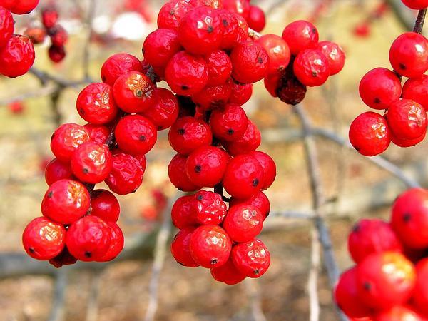 Common Winterberry (Ilex Verticillata) https://www.sagebud.com/common-winterberry-ilex-verticillata