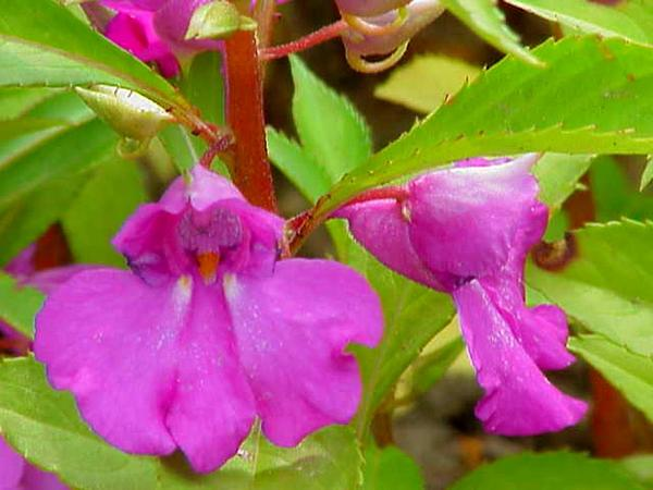 Spotted Snapweed (Impatiens Balsamina) https://www.sagebud.com/spotted-snapweed-impatiens-balsamina
