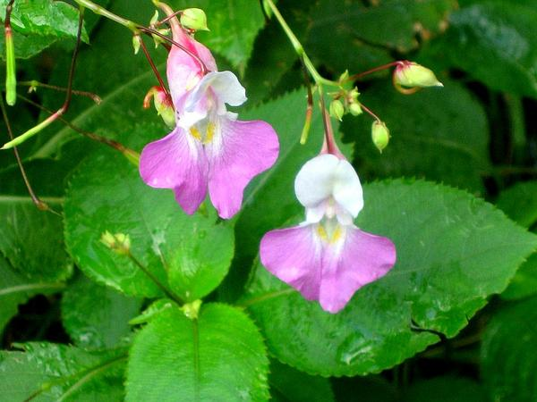 Balfour's Touch-Me-Not (Impatiens Balfourii) https://www.sagebud.com/balfours-touch-me-not-impatiens-balfourii