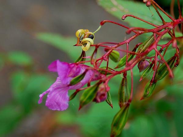 Ornamental Jewelweed (Impatiens Glandulifera) https://www.sagebud.com/ornamental-jewelweed-impatiens-glandulifera