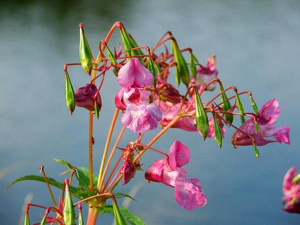 Ornamental Jewelweed (Impatiens Glandulifera) https://www.sagebud.com/ornamental-jewelweed-impatiens-glandulifera