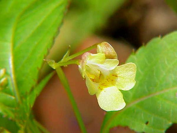 Smallflower Touchmenot (Impatiens Parviflora) https://www.sagebud.com/smallflower-touchmenot-impatiens-parviflora