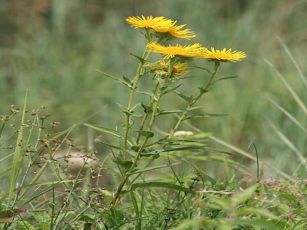 British Yellowhead (Inula Britannica) https://www.sagebud.com/british-yellowhead-inula-britannica