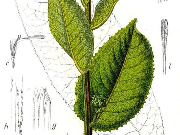 Elecampane Inula (Inula Helenium) https://www.sagebud.com/elecampane-inula-inula-helenium