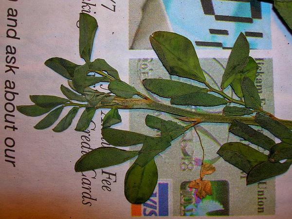 Trailing Indigo (Indigofera Hendecaphylla) https://www.sagebud.com/trailing-indigo-indigofera-hendecaphylla