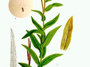 Willowleaf Yellowhead