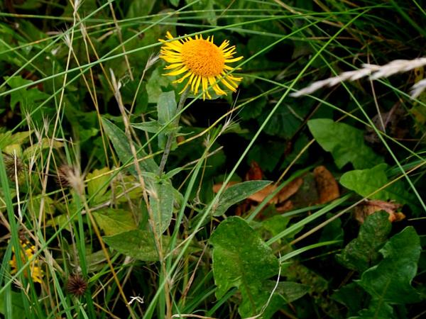 Yellowhead (Inula) https://www.sagebud.com/yellowhead-inula