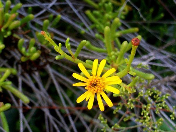 Yellowhead (Inula) https://www.sagebud.com/yellowhead-inula