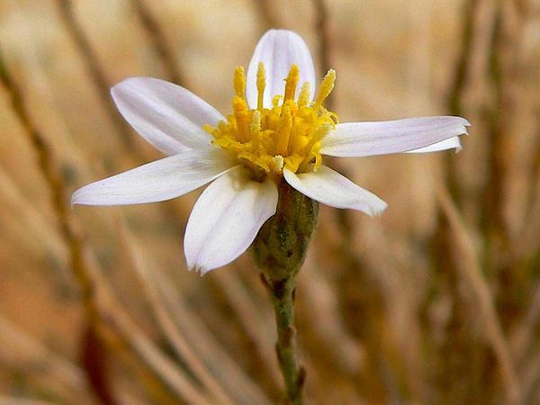 Spring Mountain Aster (Ionactis Caelestis) https://www.sagebud.com/spring-mountain-aster-ionactis-caelestis