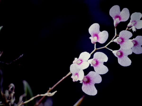 Violet Orchid (Ionopsis) https://www.sagebud.com/violet-orchid-ionopsis