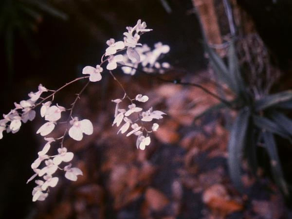 Delicate Violet Orchid (Ionopsis Utricularioides) https://www.sagebud.com/delicate-violet-orchid-ionopsis-utricularioides/