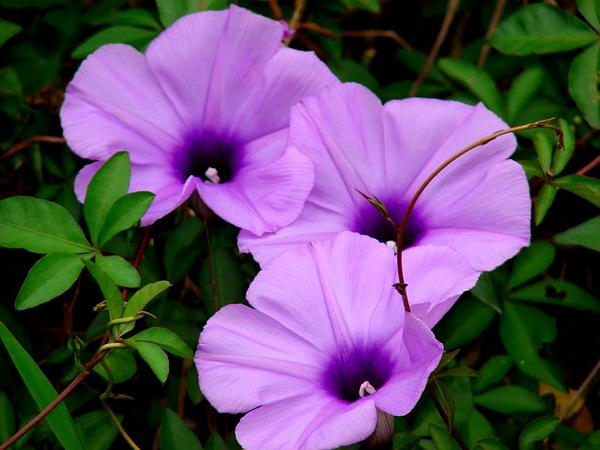 Mile A Minute Vine (Ipomoea Cairica) https://www.sagebud.com/mile-a-minute-vine-ipomoea-cairica