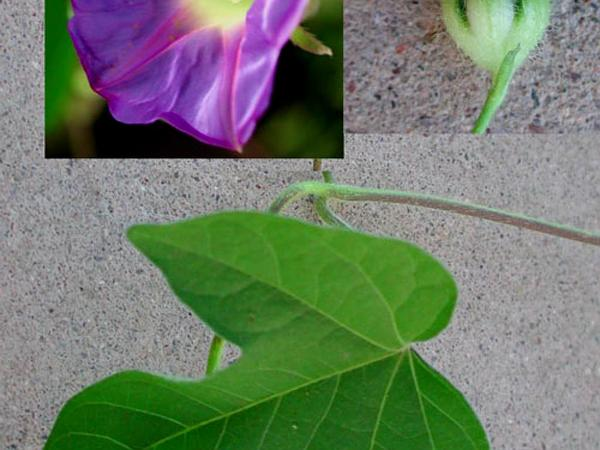 Ivyleaf Morning-Glory (Ipomoea Hederacea) https://www.sagebud.com/ivyleaf-morning-glory-ipomoea-hederacea