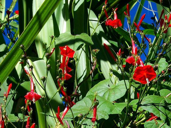 Scarletcreeper (Ipomoea Hederifolia) https://www.sagebud.com/scarletcreeper-ipomoea-hederifolia