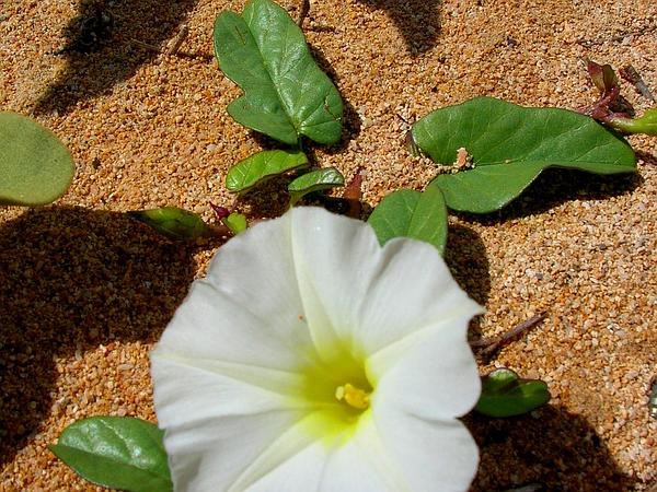 Beach Morning-Glory (Ipomoea Imperati) https://www.sagebud.com/beach-morning-glory-ipomoea-imperati