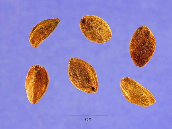Bush Morning-Glory (Ipomoea Leptophylla) https://www.sagebud.com/bush-morning-glory-ipomoea-leptophylla