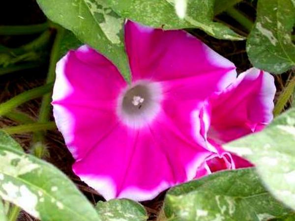 Whiteedge Morning-Glory (Ipomoea Nil) https://www.sagebud.com/whiteedge-morning-glory-ipomoea-nil