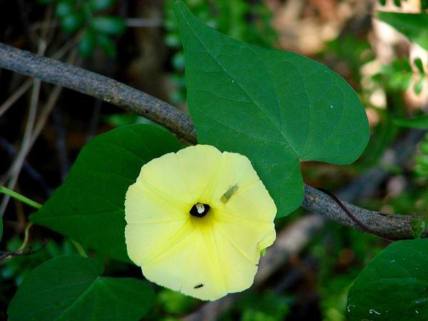 Fence Morning-Glory (Ipomoea Ochracea) https://www.sagebud.com/fence-morning-glory-ipomoea-ochracea